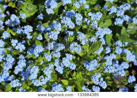 Forget-me-not Myosotis arvensis blue flowering. Natural background.