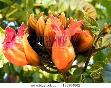 Bud of Spathodea campanulata in Or Yehuda Israel