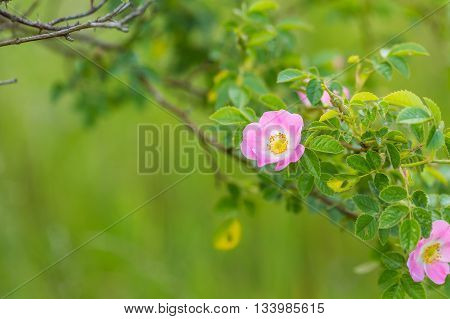 Wild Pink Rose Blooming At Summer