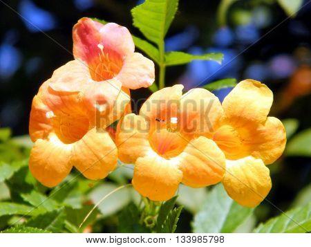 Orange Campsis Grandiflora flowers in Or Yehuda Israel