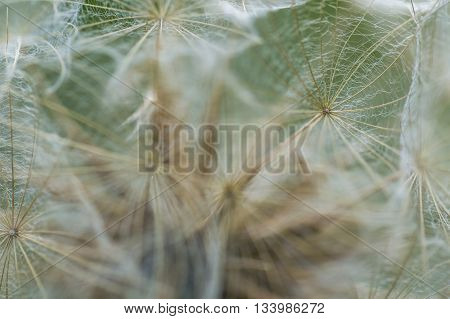 Dandelion Seed In Big Close Up