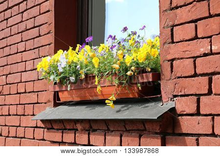 violet pansy yellow and blue in pots on the window