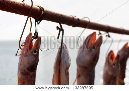 Eels Used as Bait for Shellfish Hang to Dry in Fishing Village of Beesands, Devon, UK