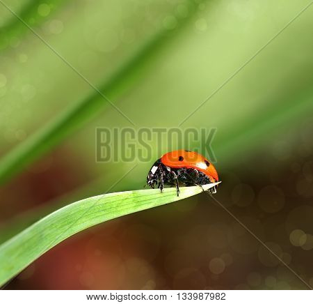 Ladybird closeup on a leaf. Ladybug running along on blade of green grass. Beautiful nature