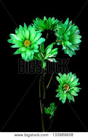 Green daisy Floral arrangement isolated over a black background