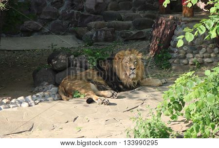 Asian lion (Panthera leo persica) is the largest of the living cats