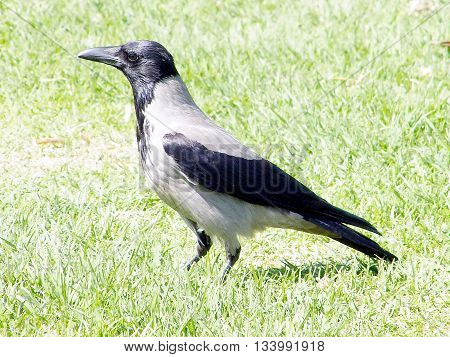 Crow in the grass in Or Yehuda Israel