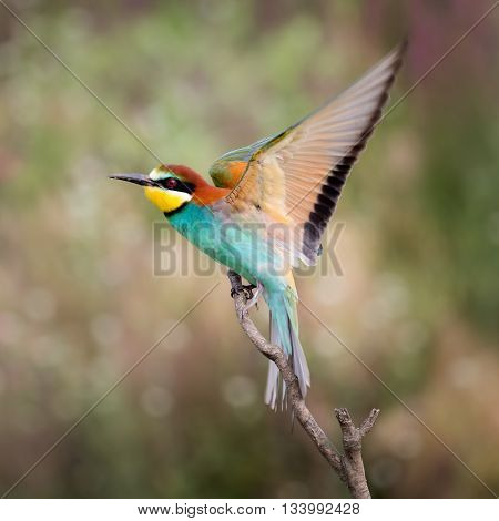 European bee-eater ( Merops Apiaster ) takin-off from a branch. Blurry background