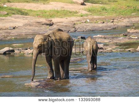 Two young asian elephants in the river on Ceylon