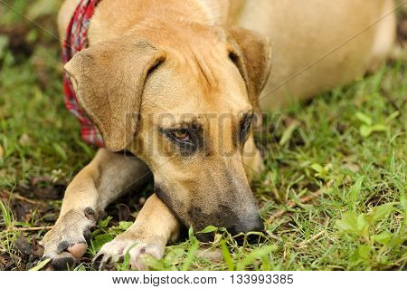 Sad dog is a beautiful brown dog outdoors resting his chin on his leg looking sad.