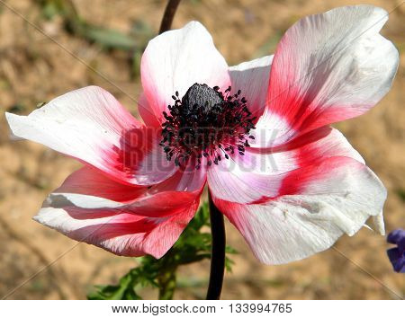 The red and white Crown Anemone flower in Or Yehuda Israel