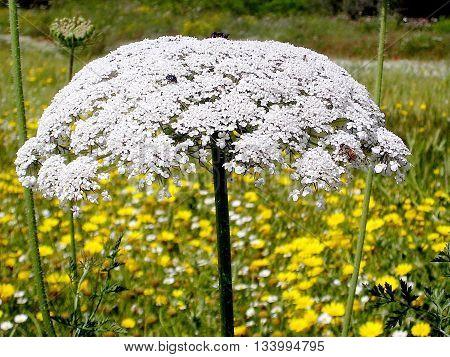 Blooming Daucus carota near Or Yehuda Israel