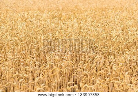 A field of golden wheat ready for the harvest on a sunny day