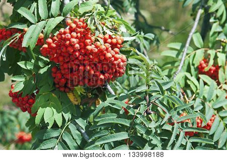 Mountain-ash green tree leaves and berries details