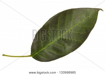 intense dark green leaf isolated on white background