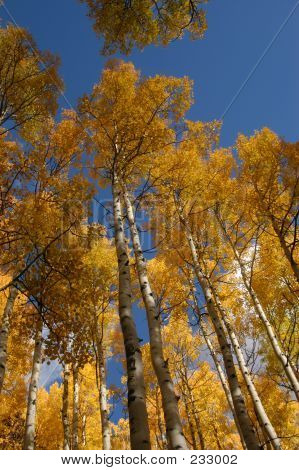 Tower Of Aspens