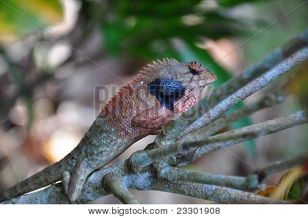 Closeup of a young iguana in natural enviorement
