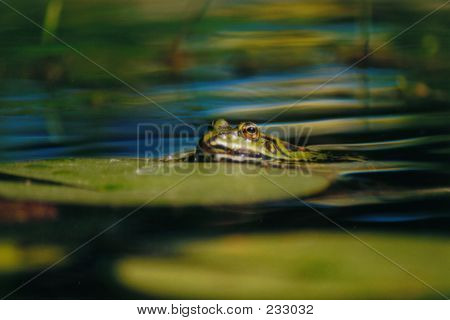 Frog - 7