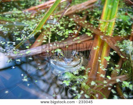 Characterful Frog