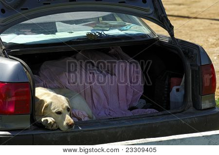 Dog looks out bored from the trunk of car