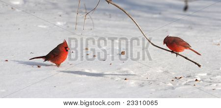 Cardinal birds on snow during bright day