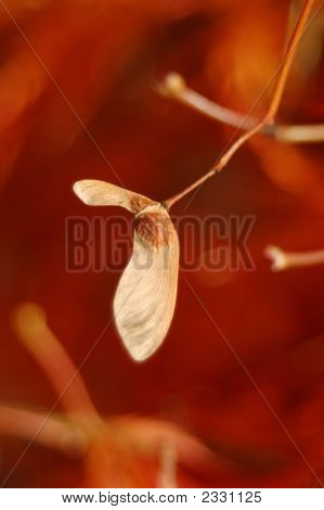 Japanese Maple Seed