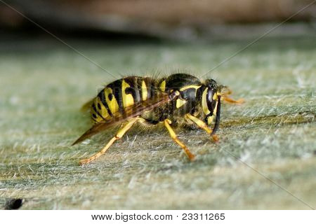Large Wasp On Wooden Surface