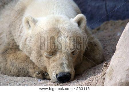 Polar Bear - 7