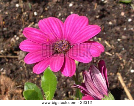 Garden Flower 04