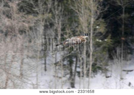 Immature Eagle In Flight