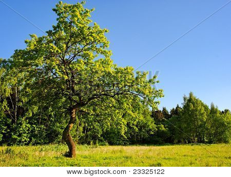 Young Oak Tree In Meadow