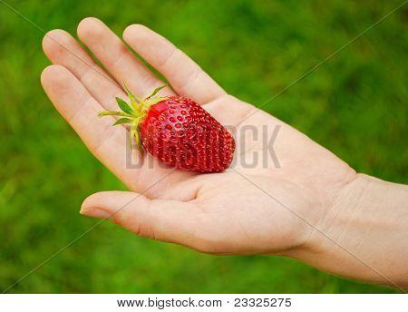 Big Ripe Strawberry On Hand