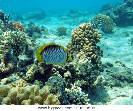 Black-backed Butterfly Fish