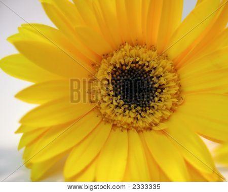 Sunny Gerbera Daisy
