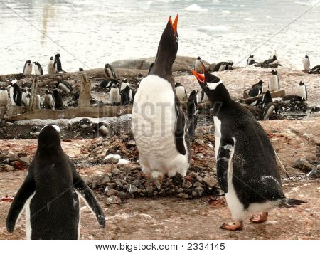 Gentoo Penguin Pair Vocalizing With Egg