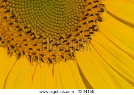 Sunflower -Detail