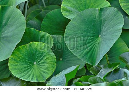 Green Leaves Of The Lotus