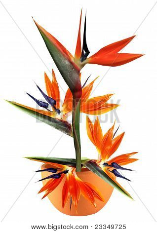 Bird Of Paradise Flower In Pot