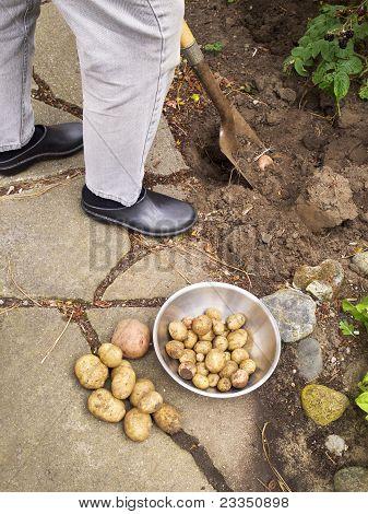 Potatoes Dug from Garden