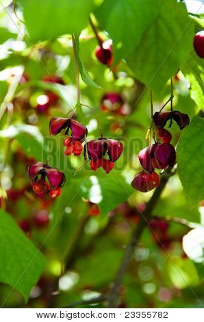 European spindle tree - Euonymus Europaeus