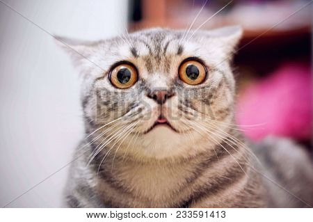 poster of Young Crazy Surprised Cat Make Big Eyes Closeup. American Shorthair Surprised Cat Or Kitten On Sofa