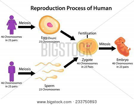 Education Chart Of Biology For Reproduction Process Of Human Diagram Vector Illustration Poster