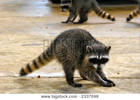 Coons In The Junkyard
