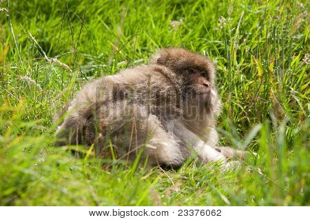 Barbary Macaque