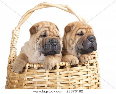 Sharpei in  basket  of a white background