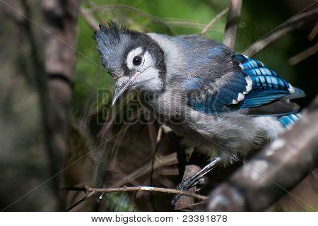 Incipiente Blue Jay