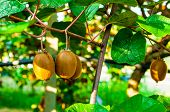 Juicy fruits of kiwi fruit. Kiwi on a branch in the garden. poster