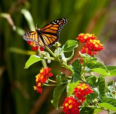 stock photo of monarch butterfly  - A Monarch Butterfly is feeding on a flower - JPG