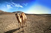 stock photo of hump day  - beautiful camel in the Canarian island Lanzarote - JPG