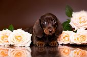 dachshund puppy  brown tan color and tea roses poster